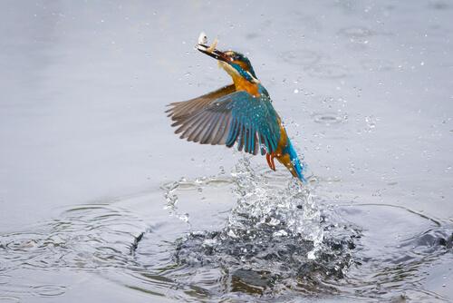 Martín pescador cazando