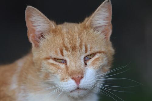Membrana nictitante en gatos