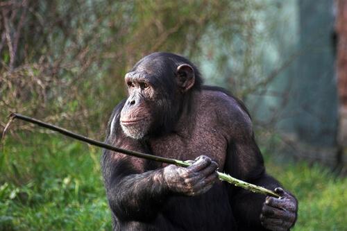 Los monos con lanza de Fongoli