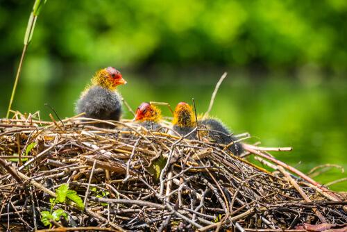 Nido abandonado con polluelos