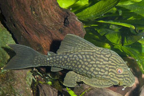 Panaque nigronileatus