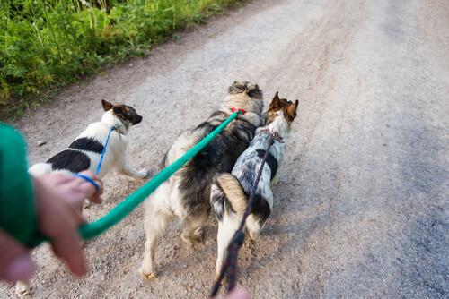 Pasear varios perros a la vez