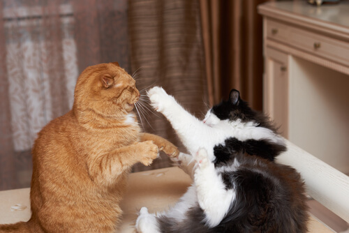 Qué debes saber sobre las peleas de gatos