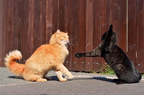 Peleas entre felinos