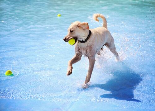 Pelota en la piscina con perros