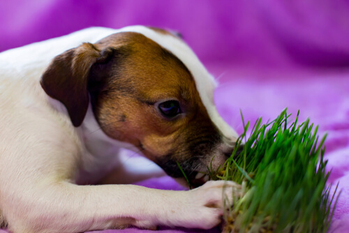 Perro vomita por comer hierba