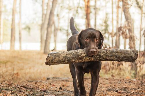 Conoce a los perros cobradores