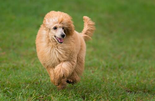 Perros más obedientes: caniche