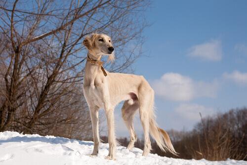 Perros más rápidos del mundo: saluki