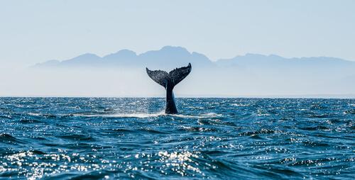Proteger a las ballenas: primer santuario en Baleares