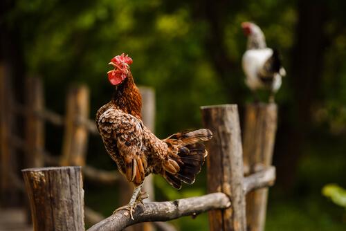 Tips para evitar que un gallo cante