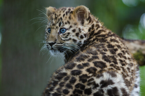 Un zoo planea reintroducir felinos amenazados en Rusia