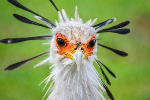 El secretario: un ave rapaz diferente