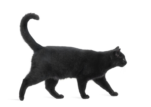 Supersticiones sobre los gatos