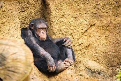 Técnicas de caza de primates