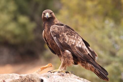 Tipos de águilas: comportamiento y hábitat
