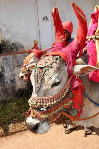 Vaca: animal sagrado en la India