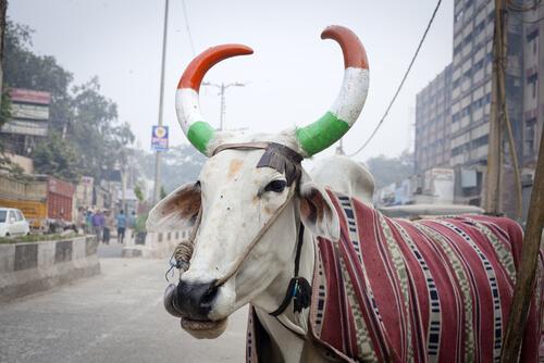 La importancia de la vaca en la India
