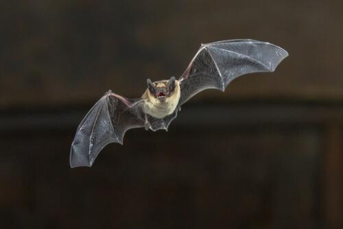 Vuelo del murciélago