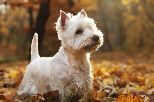 Razas de perros de las Highlands escocesas