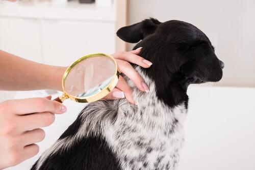 Tratamientos de las infecciones de la piel en perros