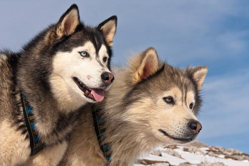 Diferencias entre alaskan malamute y husky siberiano