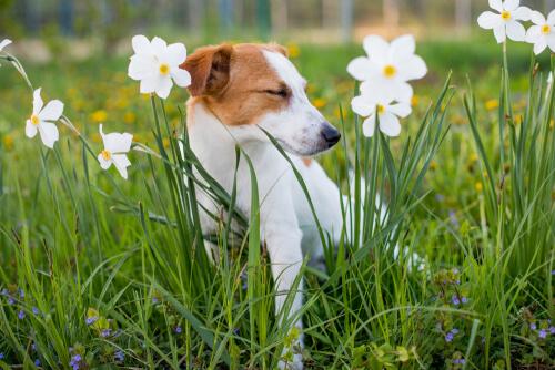 Alergia a las plantas en los perros