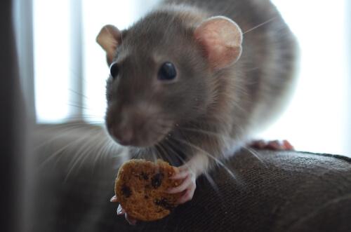 Alimentación de la rata doméstica