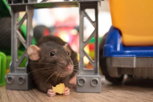 Alimentación de las ratas domésticas