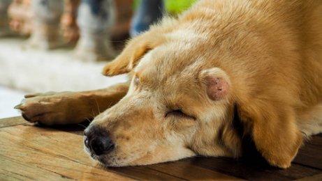 Bultos En La Piel Del Perro Qué Significan Mis Animales