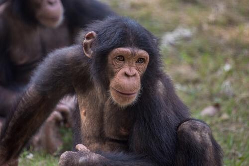 Los chimpancés curiosos del Triángulo Goualougo