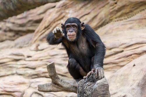 Chimpancés en Triángulo Goualougo