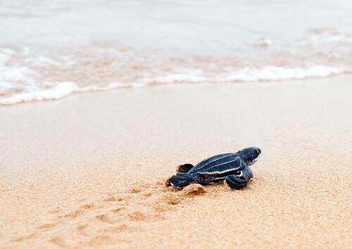 Conservación de la tortuga laúd