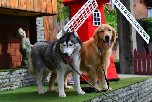 Cruza de husky y golden retriever