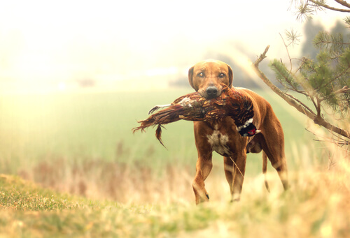 Perro cazando un ave
