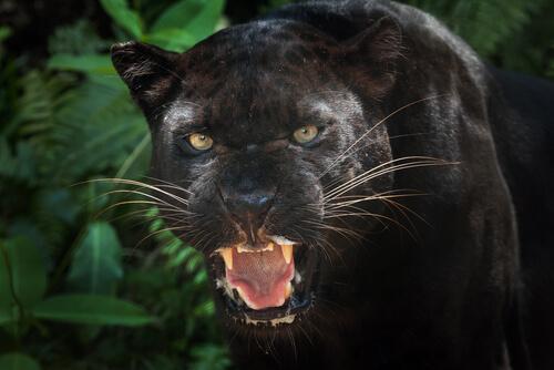Curiosidades sobre la pantera negra