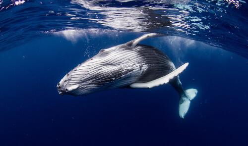 Curiosidades de las ballenas