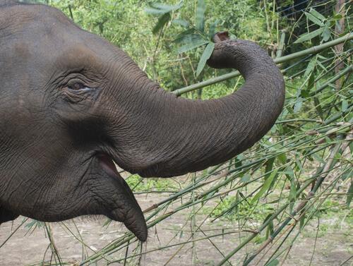 Curiosidades del elefante