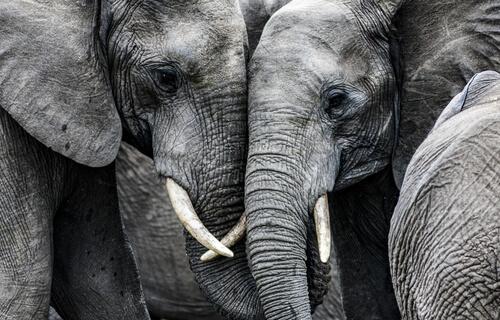 Por qué los elefantes no tienen cáncer? — Mis animales