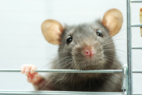 Enriquecimiento ambiental para ratas