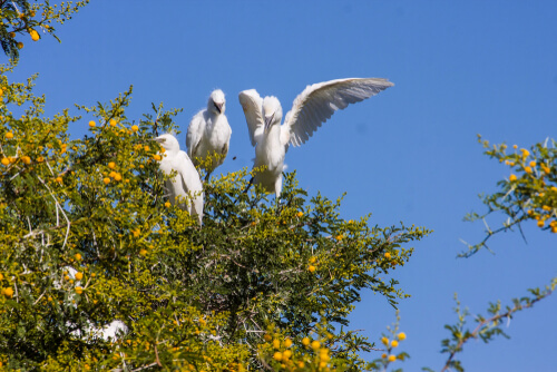 Garcilla bueyera o Bubulcus ibis