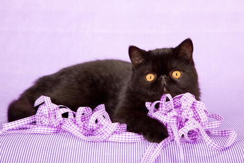 Gato exótico: carácter
