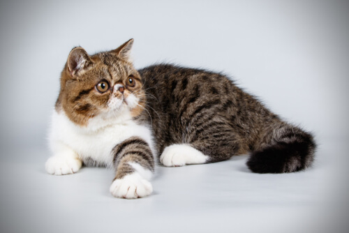 ¿Conoces al gato exótico?