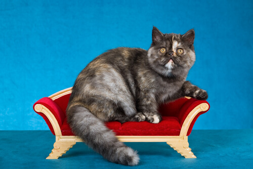 Gato exótico: cuidados