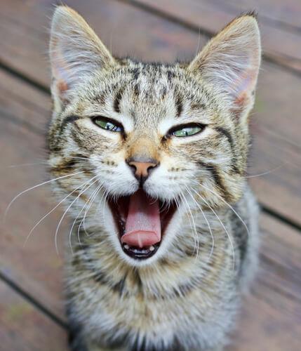 Gato se queda mudo