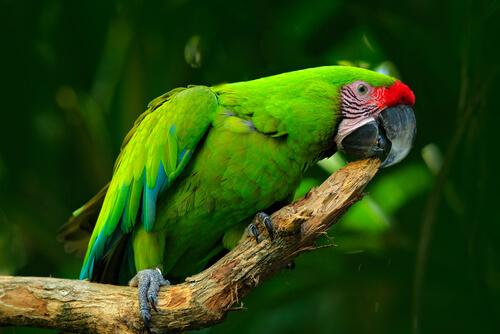 Guacamayos: hábitat