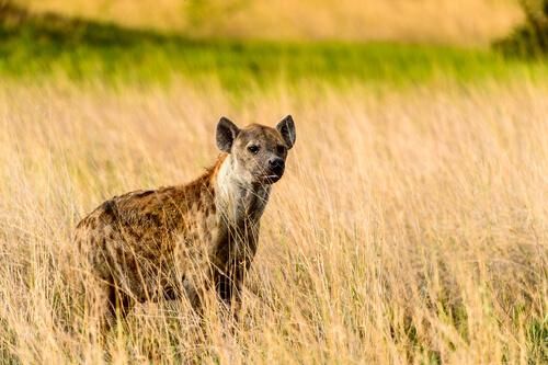 ¿Por qué no hay hienas en Europa?