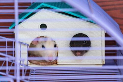 Higiene de ratas