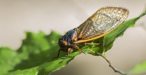 ¿Cuál es el insecto más ruidoso?