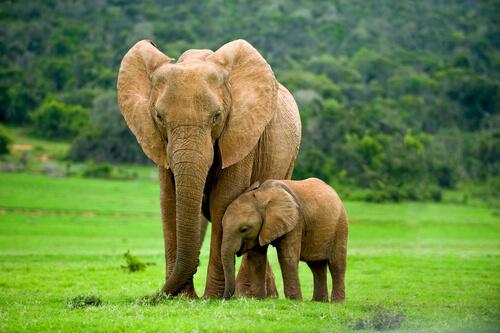 Instinto maternal animal: elefantes